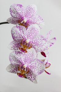 Piante da interno, piante da camera da letto: Orchidea