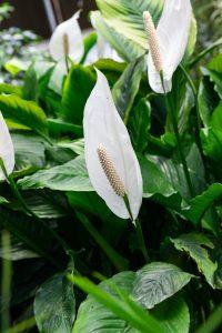 Piante da interno, piante da camera da letto: spatifillo