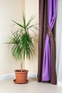 Piante da interno, piante da camera da letto: Dracaena marginata