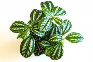 Piante da interno, piante da camera da letto: Pilea