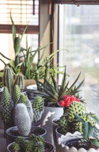 Piante succulente, protezione dal freddo
