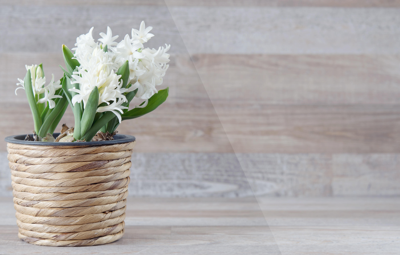 Tutti i consigli per avere dei bellissimi giacinti fito for Plantas en macetas para exterior fotos