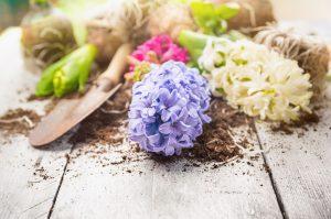 Coltivare i bulbi di giacinto\