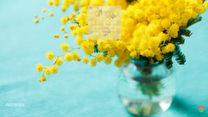 Acacia delbata, detta anche mimosa fioritura marzo