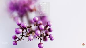 Callicarpa a novembre, il fioritura