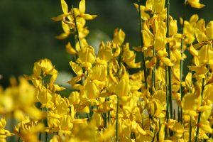 ginestra fiore giallo portafortuna