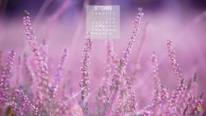 La fioritura dell'erica a settembre