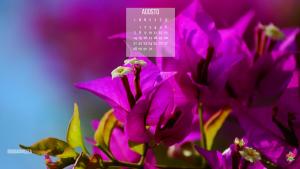 Bouganvillea il fiore che fiorisce ad agosto