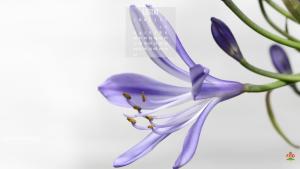 Il fiore di luglio è l'agapanthus praecox, e la sua fioritura viola è bellissima