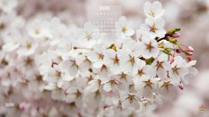 Il ciliegio fiorisce a giugno