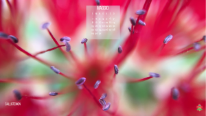 Callistemon fiore e fioritura di maggio
