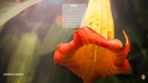 Brugmansia Sanguionea, fioritura ad aprile