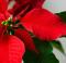 Poinsettia rossa