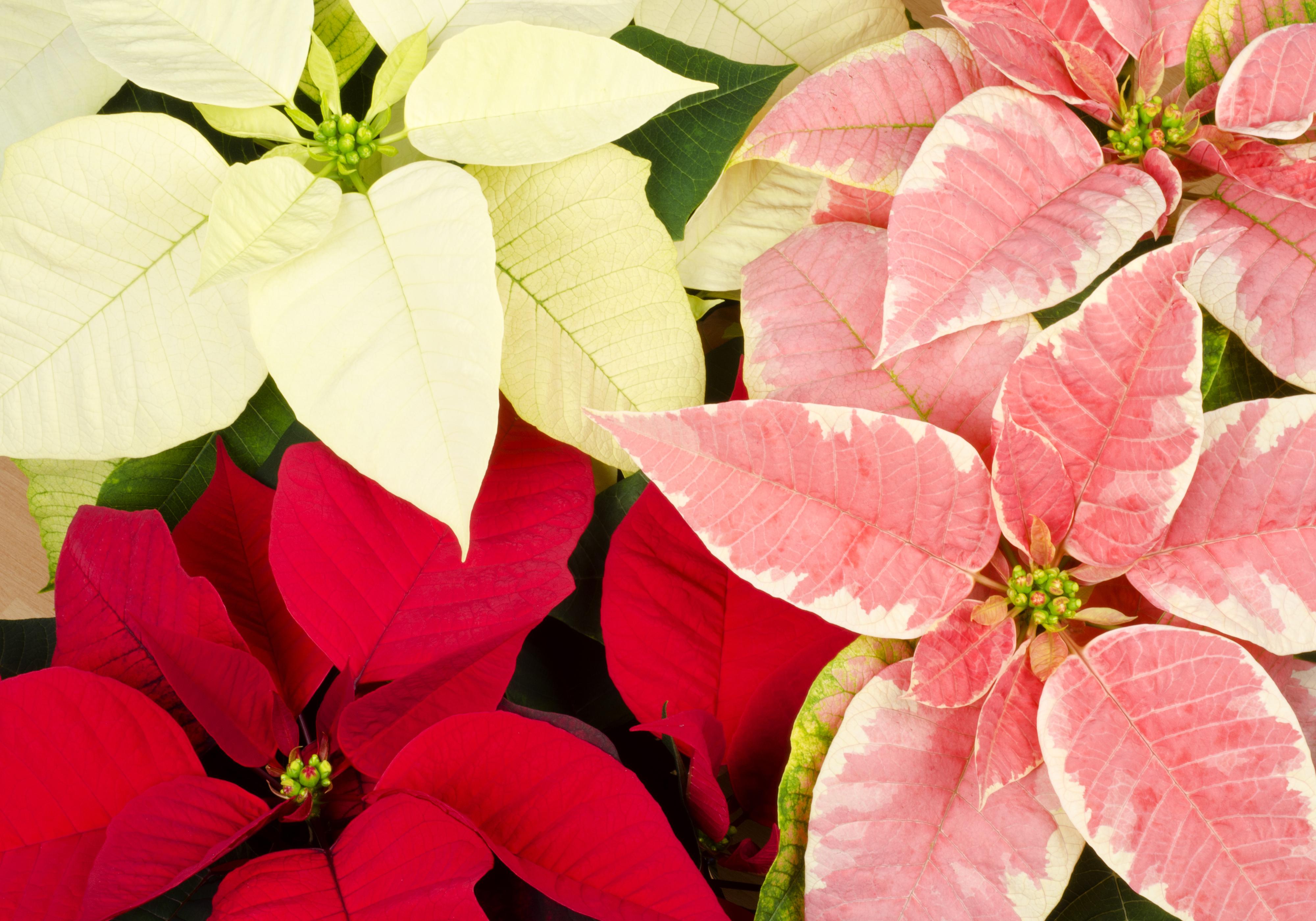 Stella Di Natale Foglie Gialle.La Cura Della La Stella Di Natale 5 Consigli Su Come Sceglierla