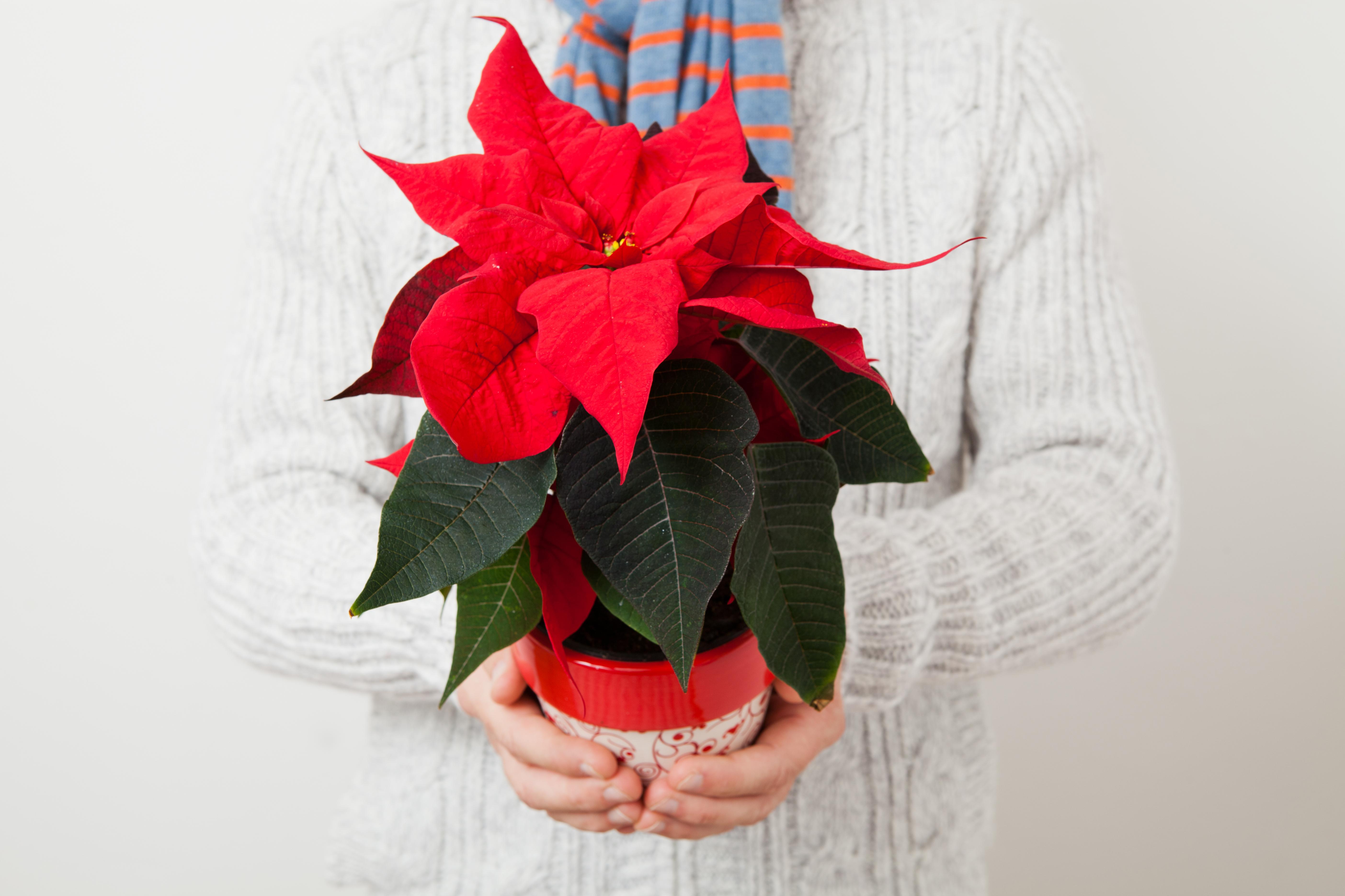 Pianta Stella Di Natale Prezzo.Piante Da Regalare A Natale Con 10 Euro Fito