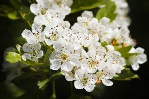 Biancospino fiore portafortuna