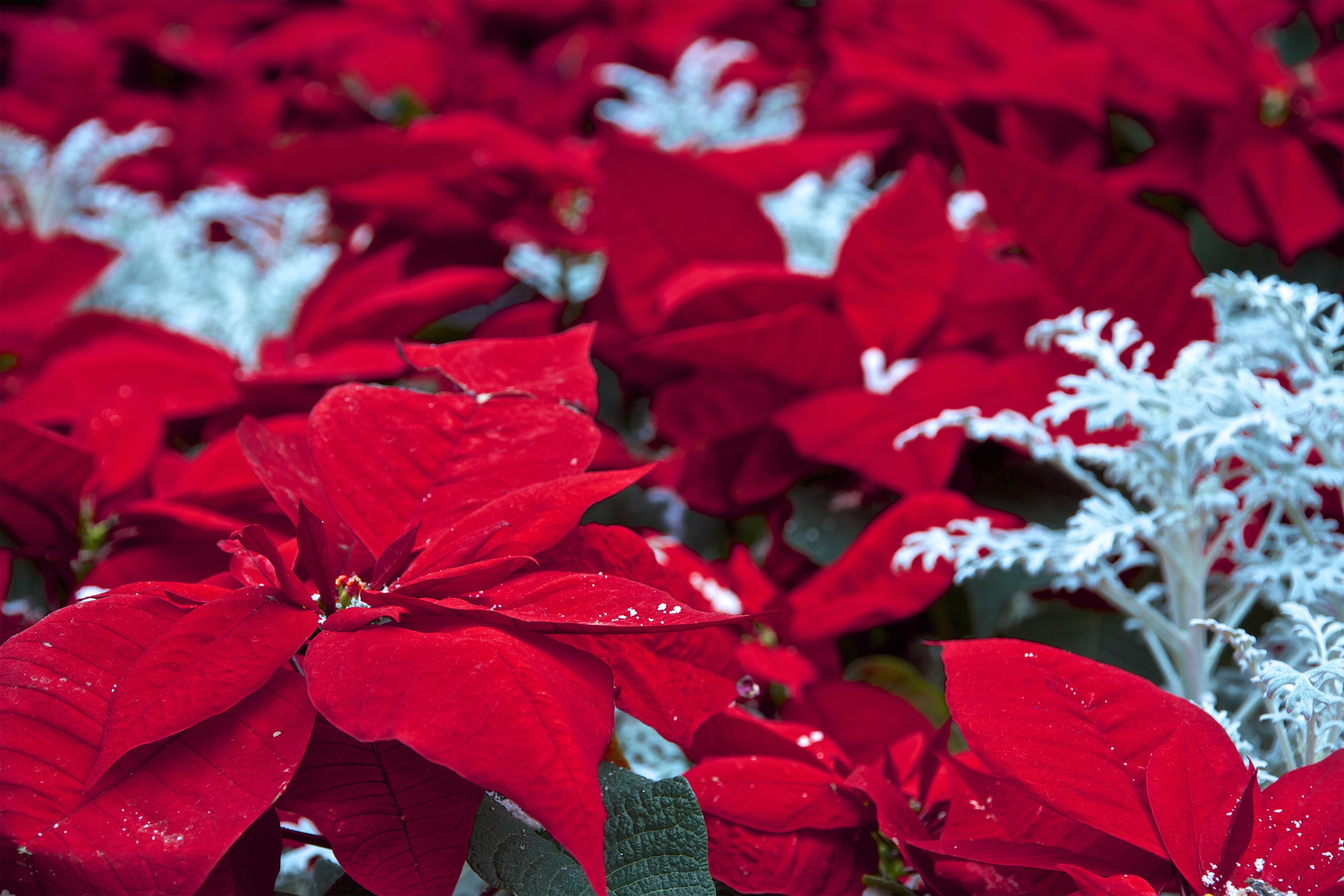 Come Mantenere Stella Di Natale.La Cura Della La Stella Di Natale 5 Consigli Su Come Sceglierla