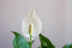 Spatifillo pianta