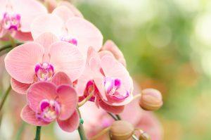 Orchidea fiore rosa