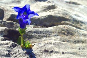 genziana fiore portafortuna