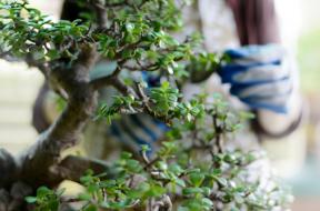 Come curare le piante di bonsai
