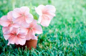 Fiori di petunia rosa pallido