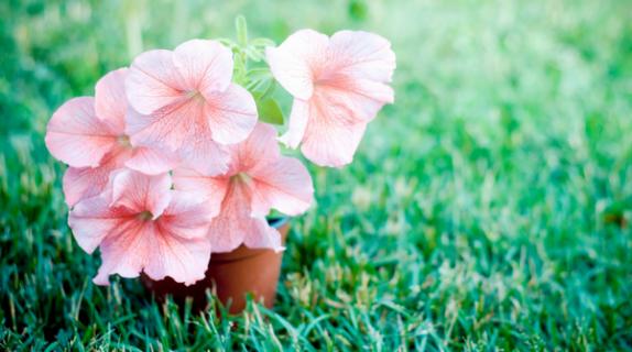Tutto quello devi sapere su come coltivare le petunie fito for Petunie inverno