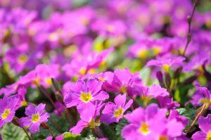 Primule fiorite gialle e rosa