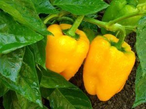 Come curare i peperoni con lo zolfo
