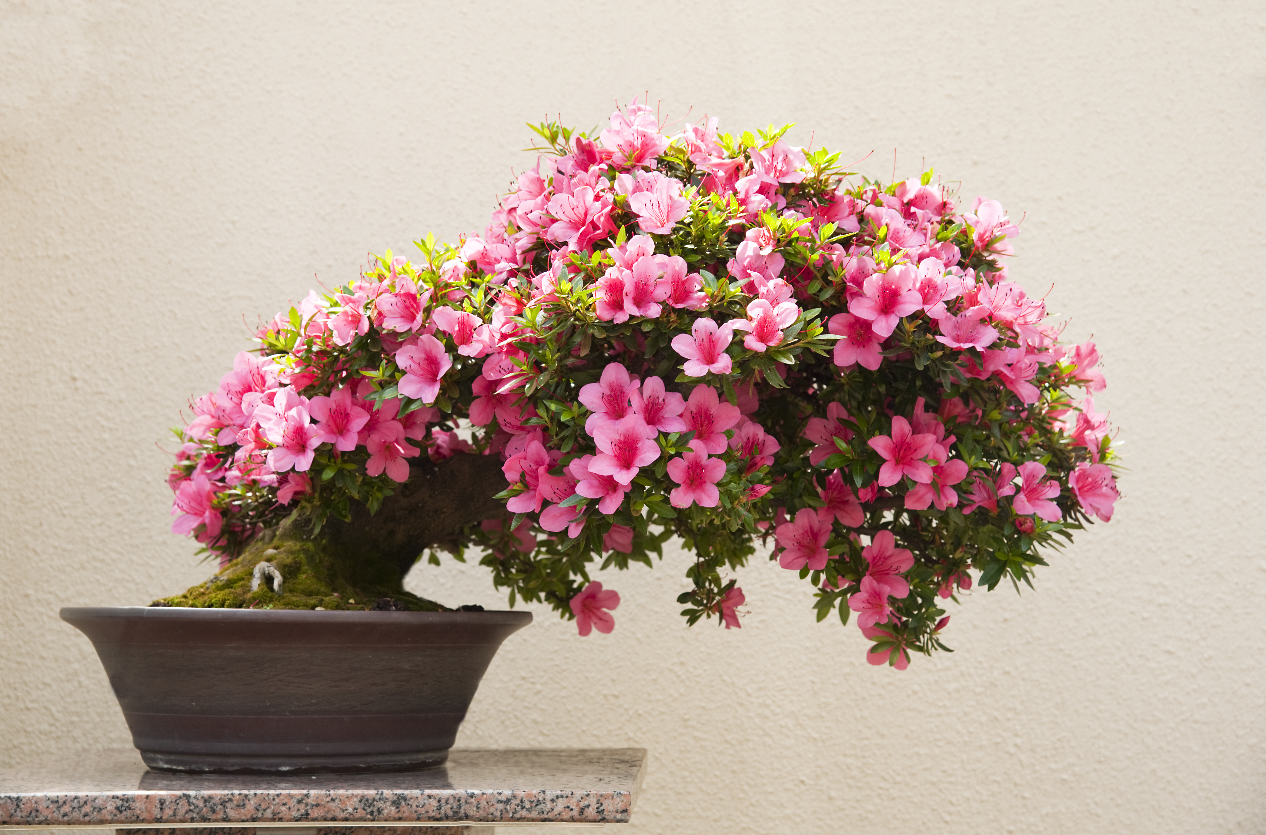 Scopri come curare i bonsai al meglio fito for Bonsai pianta