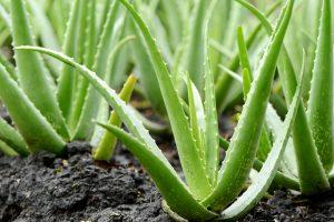 Piante di Aloe vera che crescono nel terreno