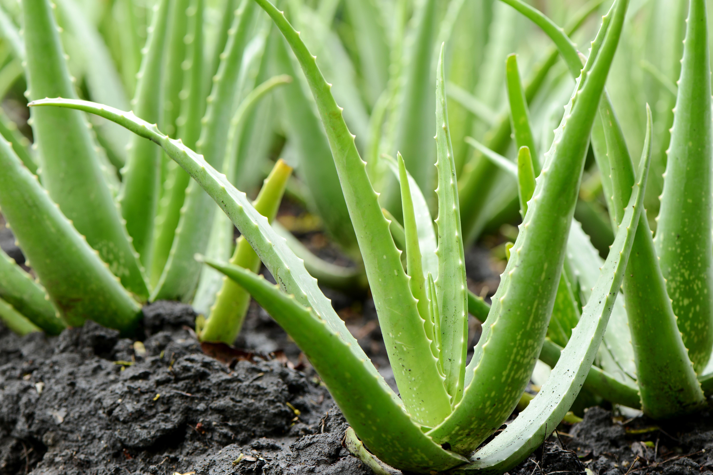Aloe In Giardino 9 piante che resistono a tutto | fito