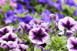 Petunia fiori indaco