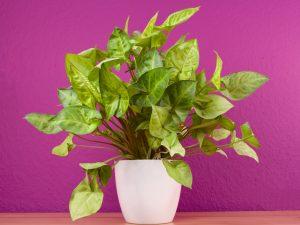 Syngonium pianta da interno