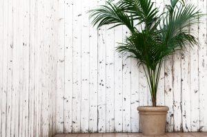 Kentia è una pianta palma