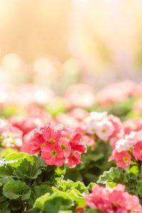I fiori di primula rosa in giardino