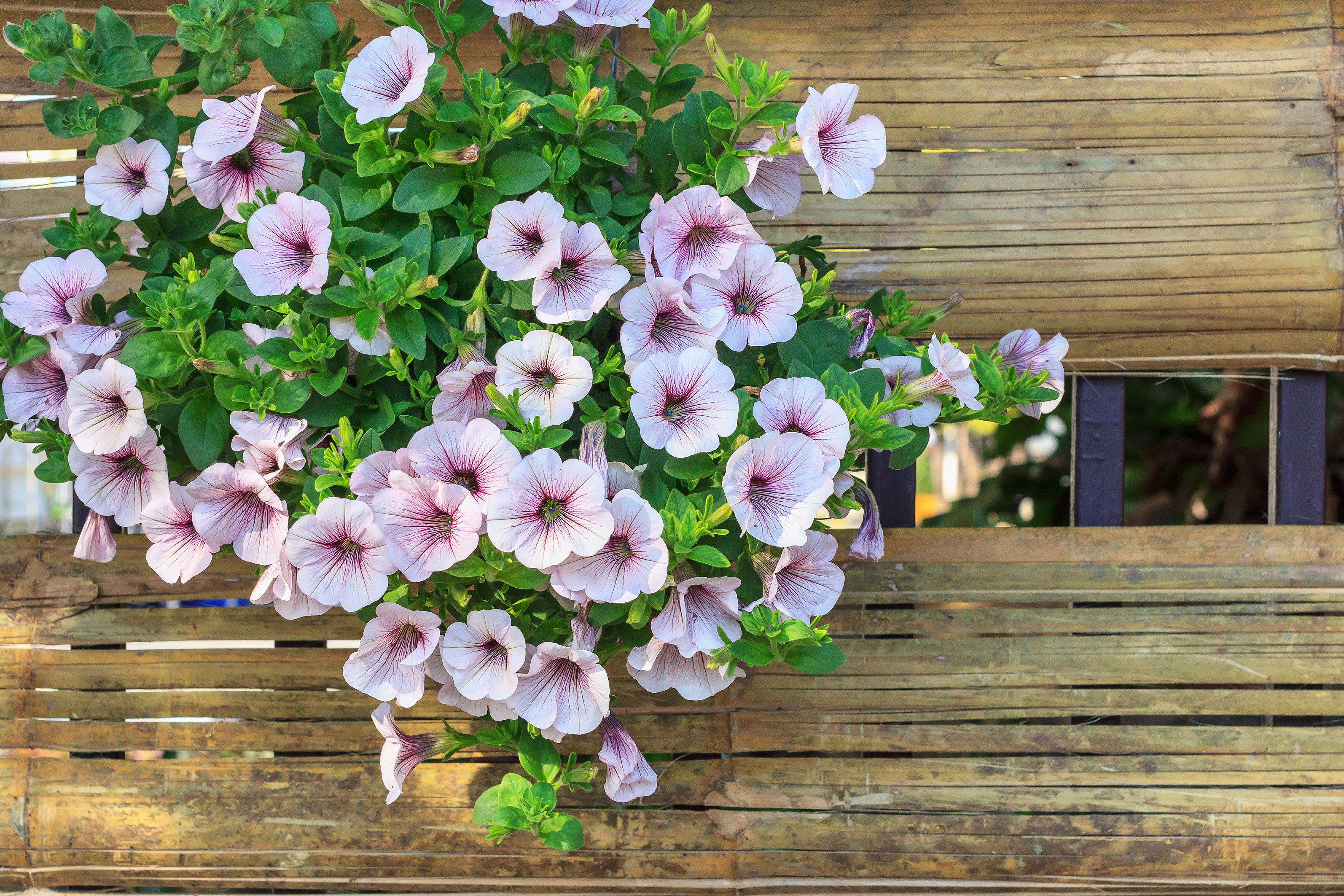 Fiori Campanelle Da Balcone tutto quello devi sapere su come coltivare le petunie | fito