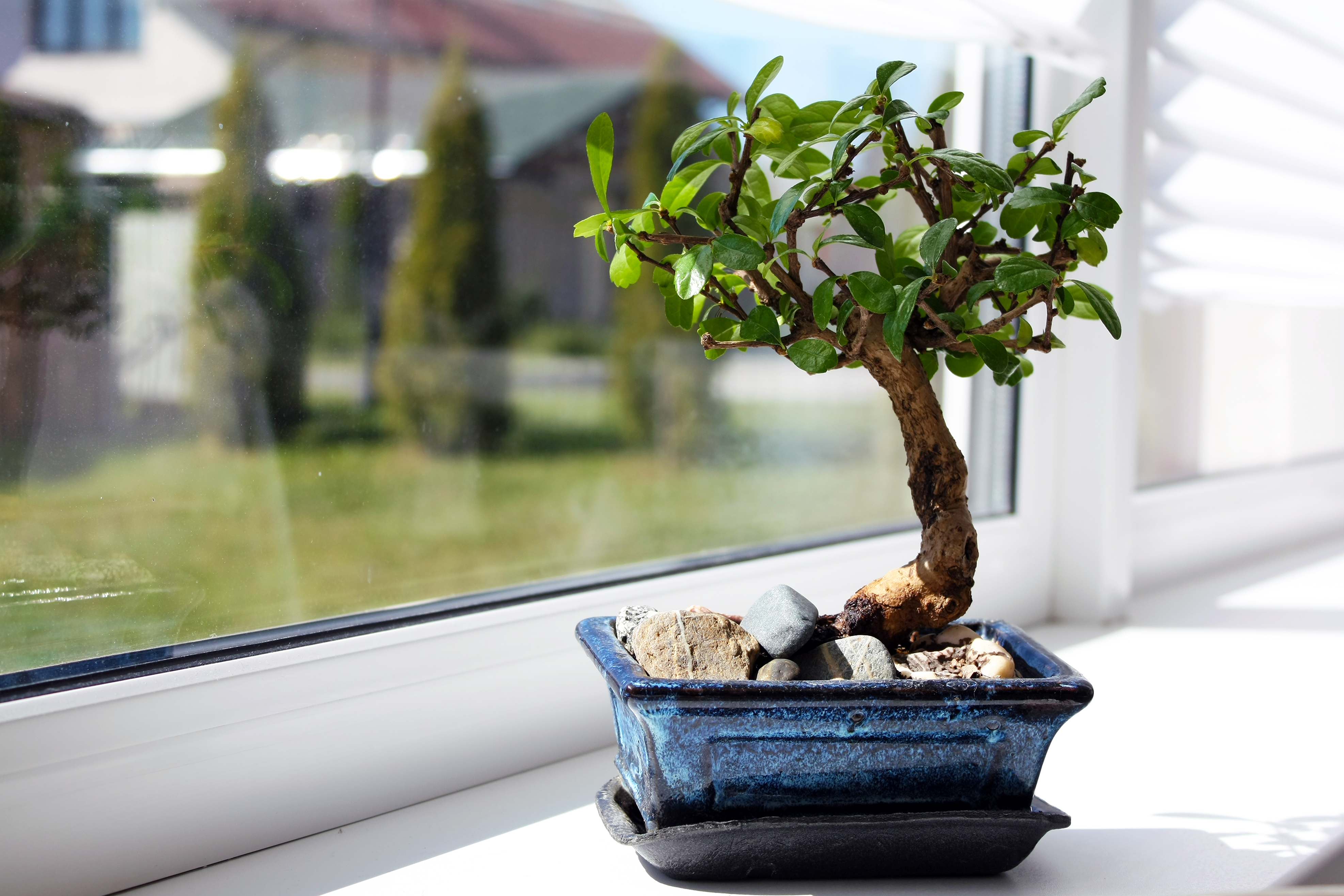 Scopri come curare i bonsai al meglio fito for Dove comprare bonsai