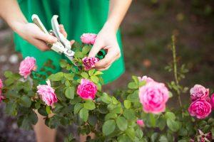 Potare le piante di rosa a febbraio