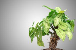 Pothos pianta da interno