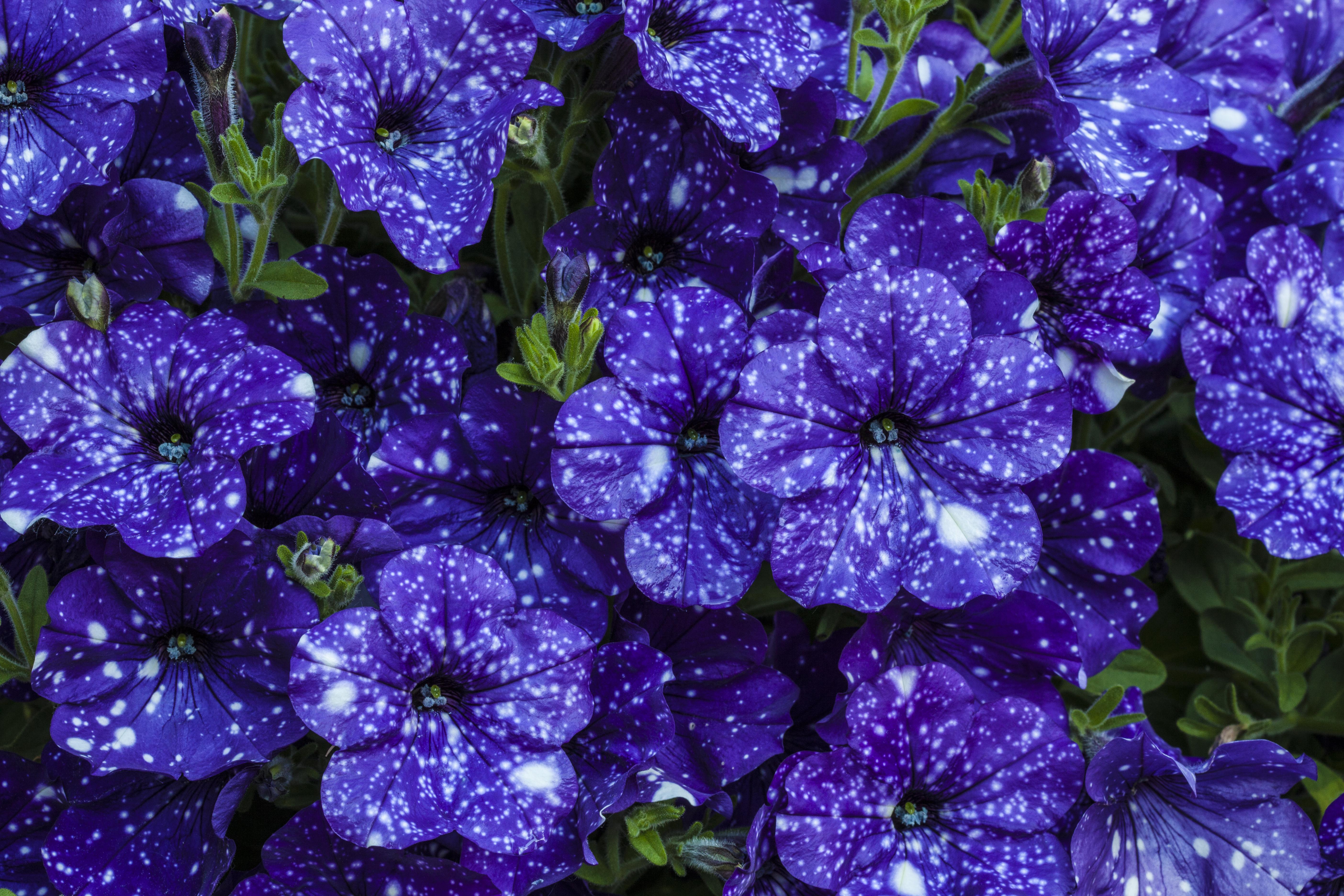 Fiori Da Vaso Perenni tutto quello devi sapere su come coltivare le petunie | fito