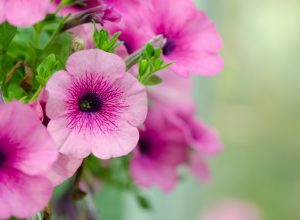 petunia fiori rosa