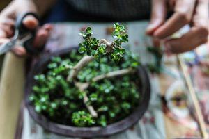 potare una pianta di bonsai