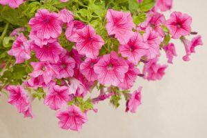 Petunia fiori in vaso