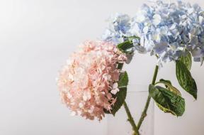 ortensia in vaso rosa e blu