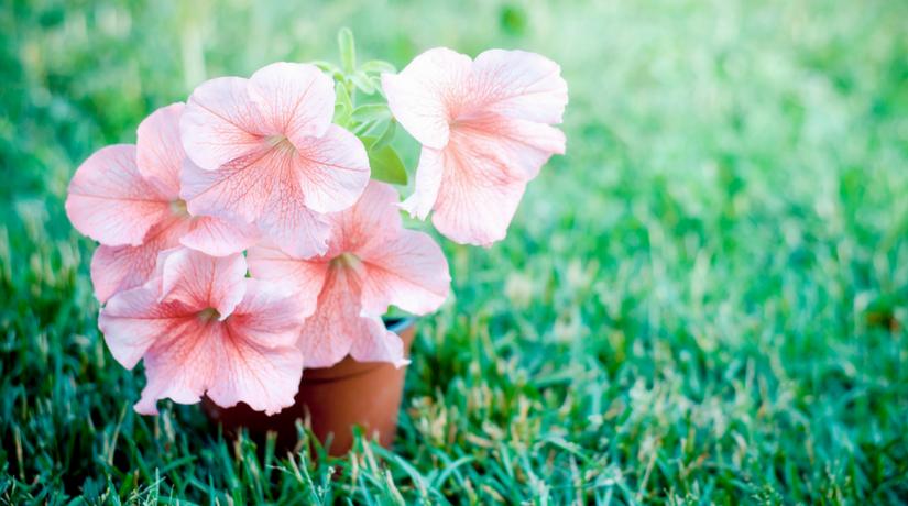 Tutto quello devi sapere su come coltivare le petunie fito for Petunie perenni