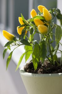 Pianta di peperoncino giallo
