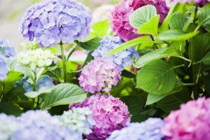Pianta di ortensie colorate in gruppo, viola, blu e rosa