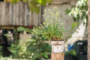 Stevia plant in old white pot.