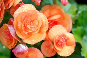Begonia da piantare ad aprile